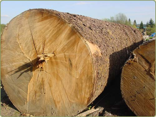 englemann spruce logs before beeing peeled